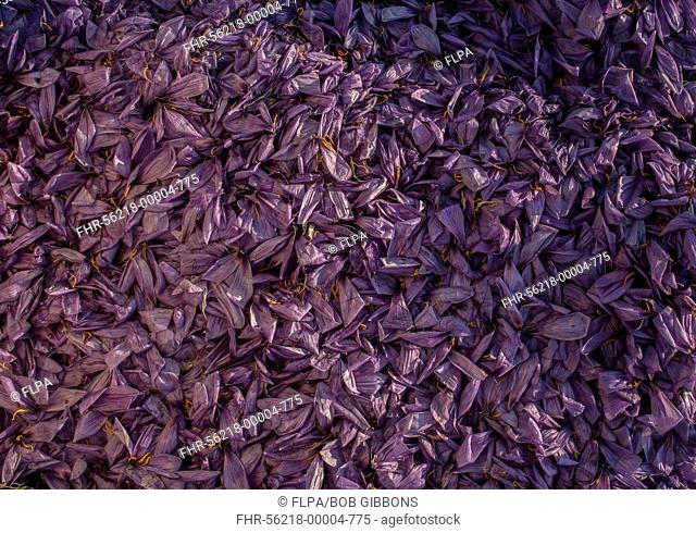 Saffron Crocus (Crocus sativus) pile of discarded petals, during saffron production in harvest season, near Kozani, Macedonia, Greece, October