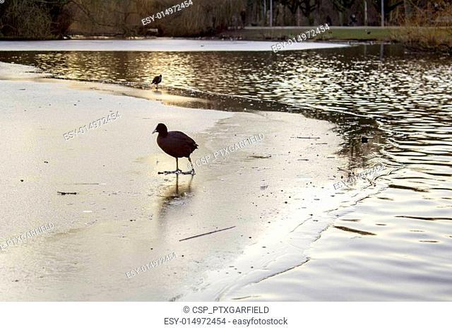 Duck at twilight icy pond in Vondelpark, Amsterdam. Is a public