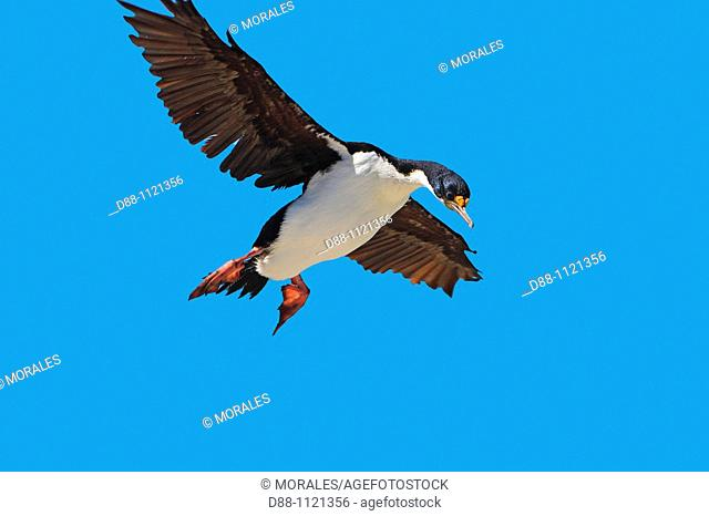 King Cormorant or White-bellied Shag (Phalacrocorax atriceps albiventer). Sealion Island, Falkland Islands