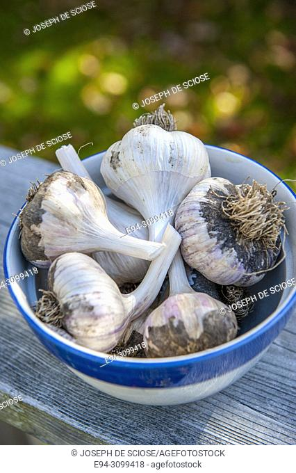 A bowl of freshly picked garlic bulbs in the autumn