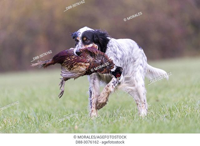 France, Bas Rhin, English Setter dog breed with a pheasant (Phasianus colchicus)