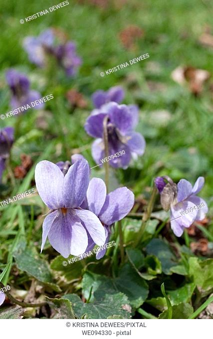 A macro of a wild ohio native the violet