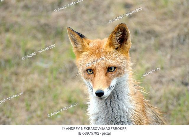 Red Fox (Vulpes vulpes), wet fur, Primorsky Krai, Russia