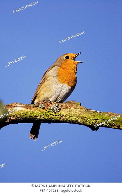 Robin (Erithacus rubecula) singing perched on branch. Scotland. UK