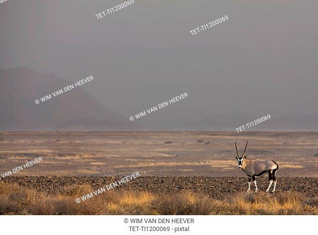 Antlered Gemsbok, Namib Desert, Namibia, Africa