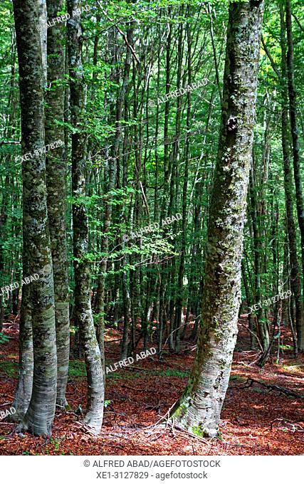 Beech trees, Pollino National Park, Italy