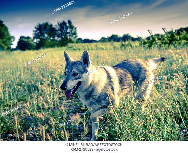 Czechoslovakian wolfdog on the field. Ayegui, Navarre, Spain