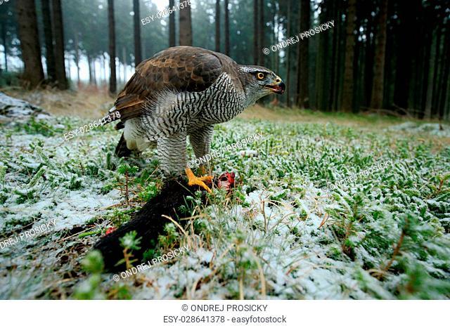 Birds of prey Goshawk