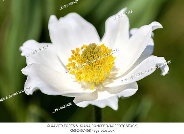 Pasque flower or Anemone alpina - Pulsatilla alpina -, Parc Naturel de la Chartreuse, Isere, Rhône-Alpes, France