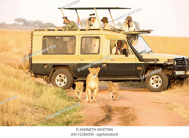 Lioness (Panthera leo) with young cubs walk on dirt road in front of tourists in safari vehicle, Serengeti National Park; Tanzania