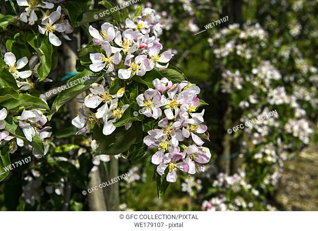 Blossoming apple trees in half-standard tree cultivation, canton of Thurgau, Switzerland
