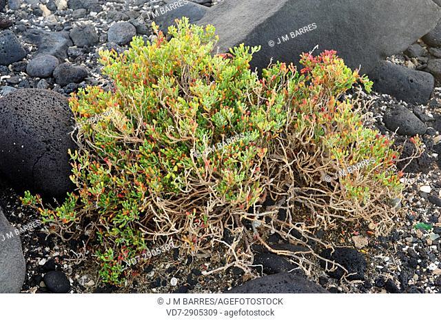 Uva de mar, uvilla, babosa or salado baboso (Zygophyllum fontanesii or Tetraena fontanesii) is a shrub halophile and succulent native of Macaronesia Region an...