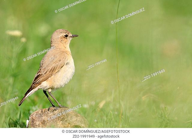 Isabelline Wheatear (Oenanthe isabellina) perched on rock. Central Balkan National Park. Bulgaria
