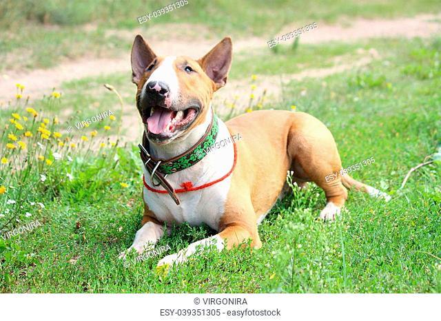 Friendly English English bull terrier resting on grass
