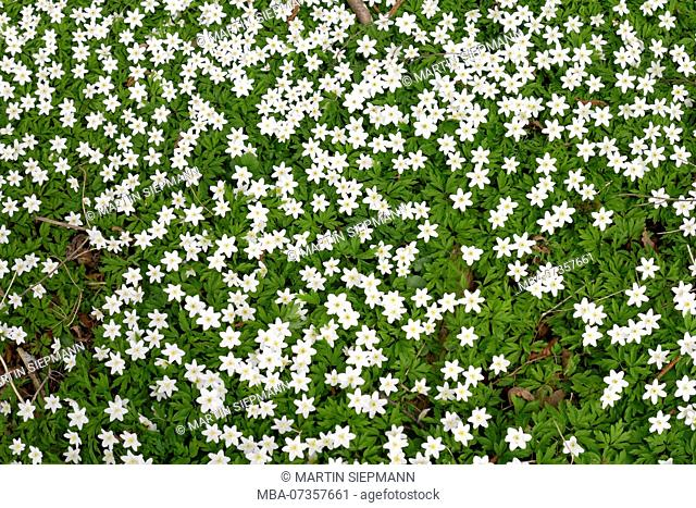 Wood anemone (Anemone nemorosa), Upper Bavaria, Bavaria, Germany