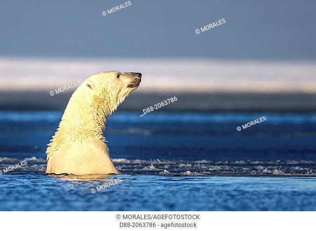 United States , Alaska , Arctic National Wildlife Refuge , Kaktovik , Polar Bear( Ursus maritimus ) , in the slush ice along a barrier island outside Kaktovik