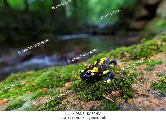 Fire Salamander (Salamandra salamandra) on moss near a stream. Harz National Park, Saxony-Anhalt, Germany