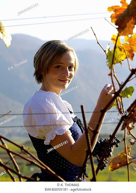 Wachau, young woman in traditional cloth, Blaudruckdirndl in vineyard, Austria, Lower Austria, Wachau, Weissenkirchen