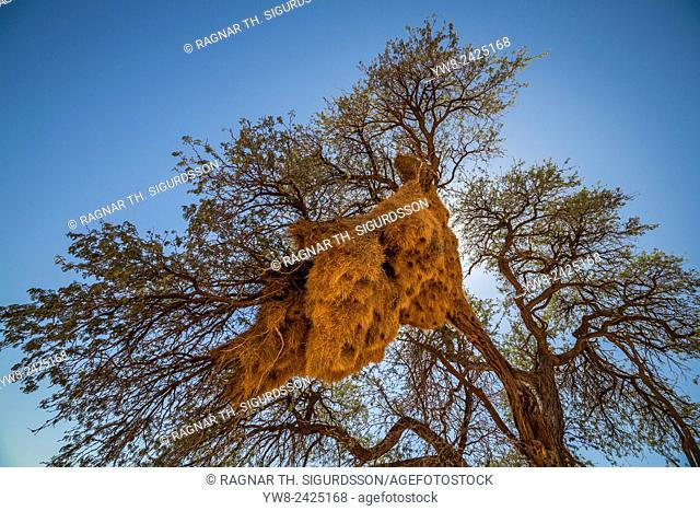 Sociable weaver birds nests in Acacia trees, Namibia, Africa