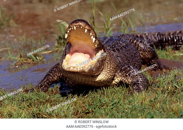 American Alligator (Alligator mississippiensis) Mouth open, captive