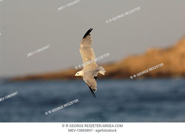 Winter moulting Audouinis Gull (Larus audouinii). Tarifa Spain September