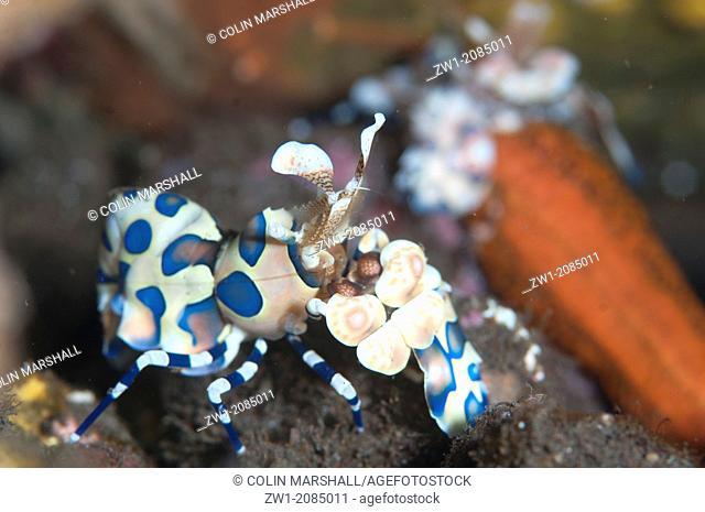 Pair of Harlequin Shrimp (Hymenocera elegans) eating Sea Star (Linckia laevigata) at Seraya in Bali in Indonesia