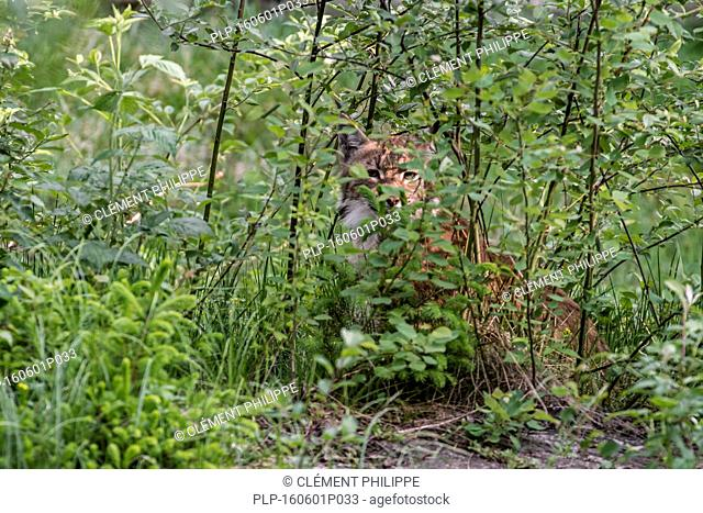 Eurasian lynx (Lynx lynx) hidden in brushwood stalking prey