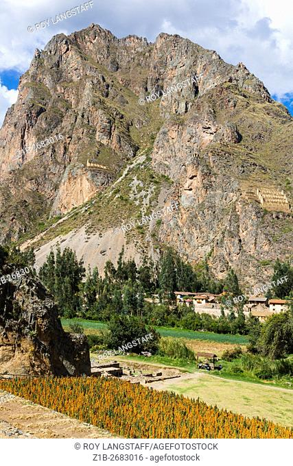 Quinoa planted on a lower Incan agricultural terrace looking across to Incan ruins on the cliffs of Ollantaytambo, Peru