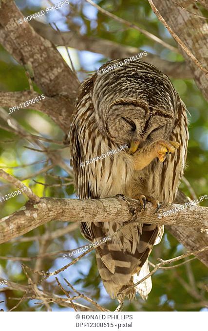 Barred Owl (Strix varia), Everglades National Park; Florda, United States of America