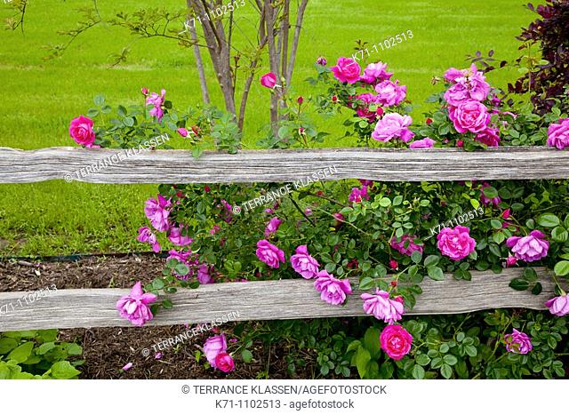 Deep pink roses and a rustic old fence at the Junction House restaurant in Kingsland, Texas, USA
