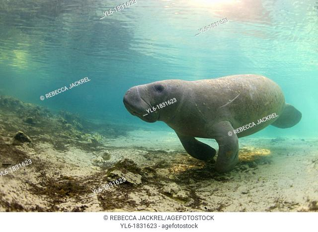 West Indian Manatee: Filmed on location at Crystal River National Wildlife Refuge, Crystal River, Florida courtesy of the U S  Fish and Wildlife Service