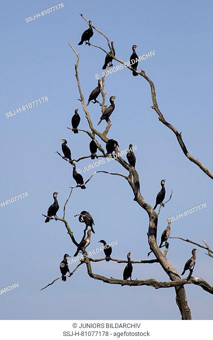 Cormorant (Phalacrocorax carbo). Birds resting on dead tree. Nature reserve Anklamer Stadtbruch, Mecklenburg-West Pomerania, Germany