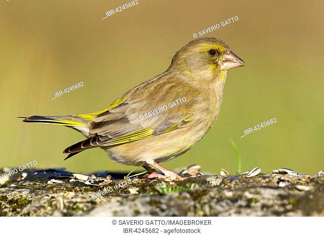 European Greenfinch (Carduelis chloris), female perched on a rock, Campania, Italy