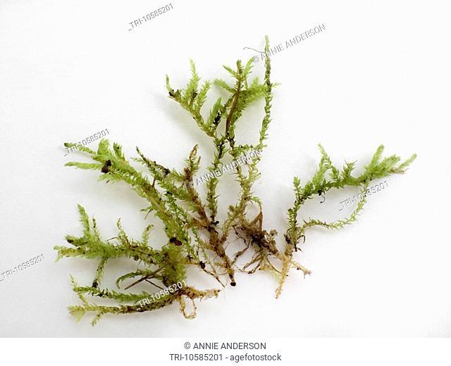 Spaghnam Moss