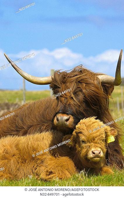 Scottish Highland cows, Skye island, Inner Hebrides, Scotland, UK
