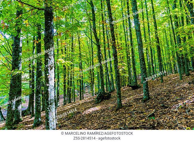 The chestnut forest of El Tiemblo - El castañar de El Tiemblo, Ã. vila, Castilla y León, Spain, Europe