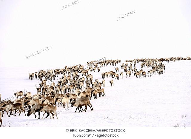 Reindeer (Rangifer tarandus) herd migrating in spring, Yar-Sale district, Yamal, Northwest Siberia, Russia