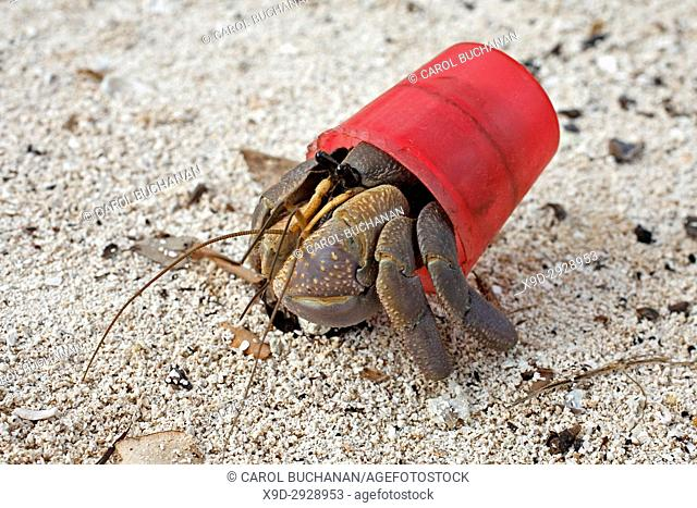 Terrestrial Hermit crab, Coenobita brevimanus, using a red bottle cap as a protective shell instead of the usual mollusk shell