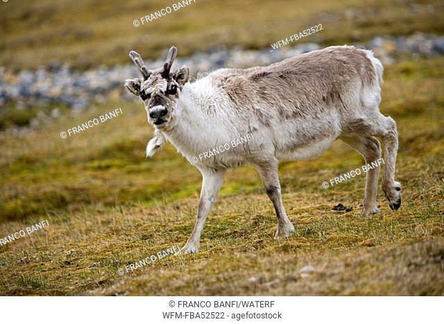 Svalbard Reindeer, Rangifer tarandus platyrhynchus, Spitsbergen, Svalbard Archipelago, Norway