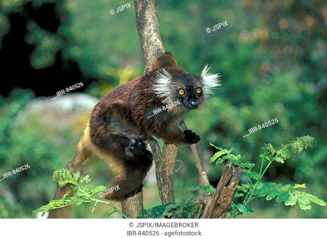 Black Lemur (Eulemur macaco), adult with young in a tree, Nosy Komba, Madagascar, Africa