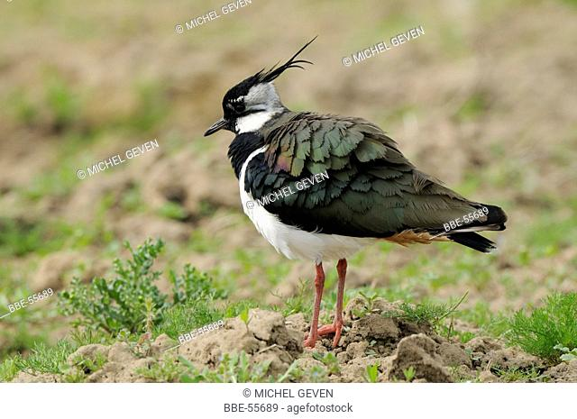 Lapwing with fluffy feathers