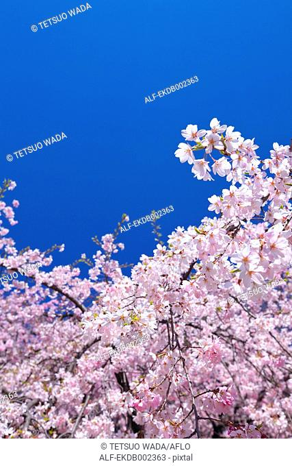 Cherry blossoms and the blue sky