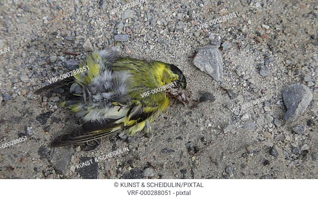Red wood ants (Formica rufa) are feeding on a dead Eurasian siskin (Carduelis spinus). Kramfors, Västernorrlands Län, Sweden