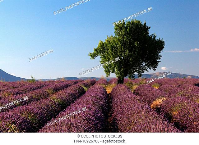 Lavender, agriculture, lavender field, mauve, perfume, Provence, France, smell, tree