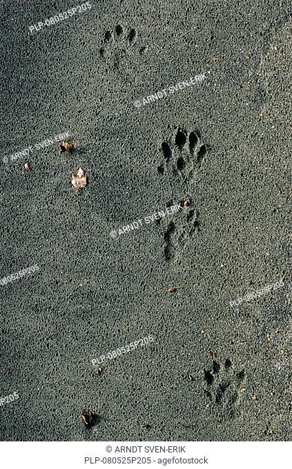 River otter Lutra lutra footprints in sand, Sweden