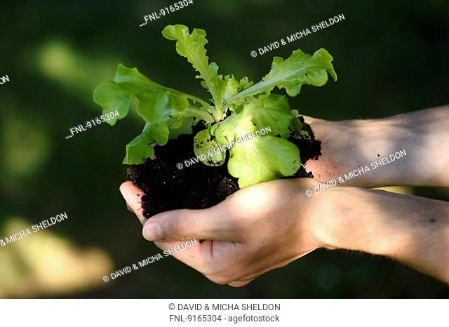 Close-up of a lettuce plant in hands of a man