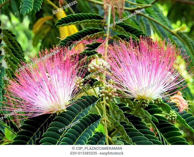 Persian Silk Tree Flowers