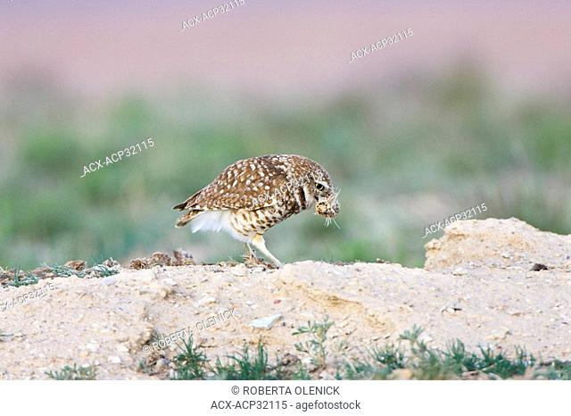 Burrowing owl Athene cunicularia, shredding dung, at burrow, Pueblo West, Colorado. Burrowing owls often use dung to line their nests
