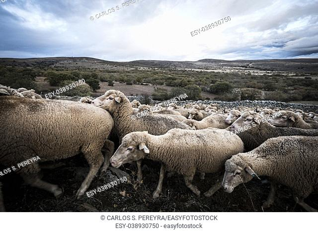 Transhumant route with sheep in the province of Soria in Spain