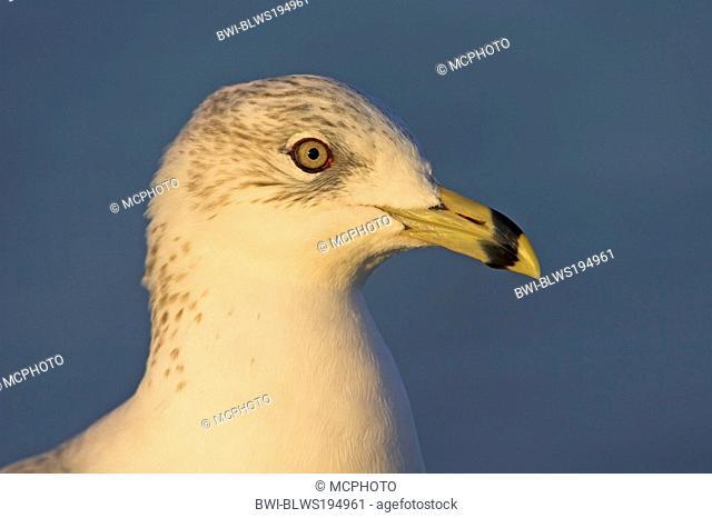 ring-billed gull Larus delawarensis, portrait, USA, Florida